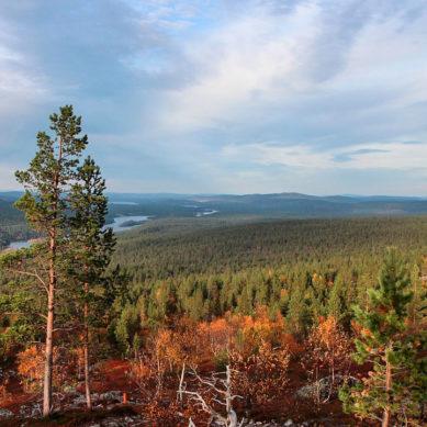 Kotimaisen raakapuun käyttö huippulukemissa viime vuonna